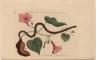Anguis niger, maculis rubris et luteis eleganter varius. [&] Convolvulus Radice tuberoso esculenta.