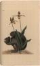 Sciurus niger. [&] Calceolus.