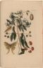 [The Lanceleaf greenbrier or Southern smilax & Scentless mockorange with a Luna moth]