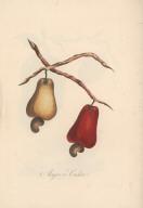 Acajou or Cashew.