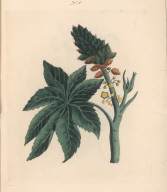No. V. Ricinus Palma Christi; or Castor, The Fruit of this Shrub, which is small, grows in large Clusters, enveloped with green Husks, armed with Prickles ... .