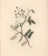 No. VI. Syringa laciniata; or, Cut-leaved lilac. ... Drawn with the above. Haematoxylon campechensis; or, Log-wood ... .