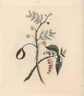 No. VIII. Acacia mimosa; or Acacie bush. ... Drawn with the above. Solanum virginiacum; or Cankerberry... .