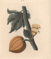 No. X. Carica papaya, or, Papaw tree; The female tree. The Leaves of this singular Tree are variously cut, the Fruit surrounds its Summit immediately under Branches and Leaves.