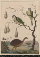The Anamoe & Green Parrots of Guiana.