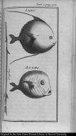 """[Sunfish, """"assiette,"""" and garfish]"""