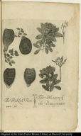 The Prickled Peare; The Blossom of the Pomegranate