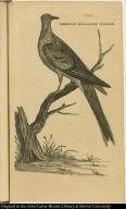 American Migratory Pidgeon.