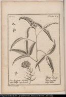 [Santolina and Cytisus plants]