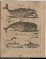 [Whales and harpoon] Hvalfisk Finnefisk Harpun med Stok Barder Hajfisk Sverdfisk