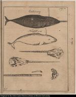 [Whales] Eenhiörning Hvüdfisk