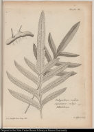 Planche XL Polypodium radice Squamosa vulgò Pillabilcum