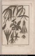 Fuchsia simplicicaulis. Fuchsia apetala.