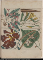 [upper left No. 50] [The Ivy-tree of Virginia.] [upper right No. 48] [The Trumpet-creeper or Cross vine.] [lower left No. 49] [The Trumpet-flower.] [lower right No. 47] [The Catalpa-tree.]
