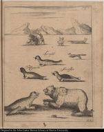 [Seals and bears of Greenland] Spraglet Klapmüts Svartsüde