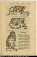[top] Sagouin. [middle] Gercopithecus sagouin clusii. [bottom] Cercopithecus barbatus clusii.