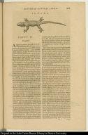 Iguana.