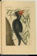 Willow Oak; Largest White Bill'd Woodpecker