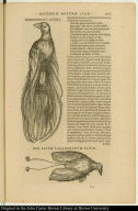 [top] Manucodiata altera. [bottom] Rex avium paradisearum clusii.