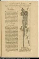 Acaltetepon, seu monoxilus mucronatus.