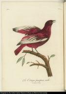 Le Cotinga pacapaca, mâle.