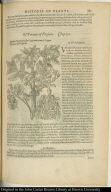 Battata Virginiana sive Virginiarnorum & Pappus. Potatoes of Virginia