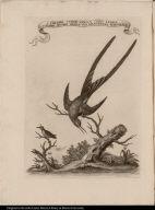 1. Colibri verde colla coda lunga 2. Colibri minimo della sua grandezza naturale