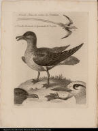 1. Uccello Artico, che credesi la Femmina 2 Uccello chiamato volgarmente il Tropico