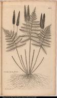 Lonchitis hirsuta florida.