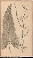 Colocasia hederacea, sterilis, angustifolia