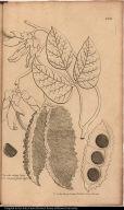 Phaseolus siliquis latis, hispidis et rugosis, fructu nigro.