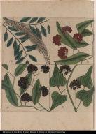 [Leaves, flowers, and berries of various briars and a tree]