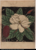 [Magnolia altissima, flore ingenti candido.]
