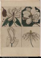 [Magnolias]