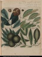 [Nut trees]