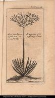 Aloes ou Espece de caratas qui a fait son Jet et fluery dont on fait le Tol.