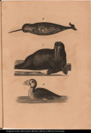 [Narwhal, sea lion or walrus, and puffin]