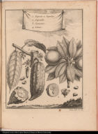 1. Zapota ou Sapotier 2. Sapotille. 3. Cacaotier. 4. Cacao.