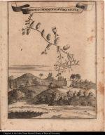 Con[v]olvulus monococcos Virginianus.