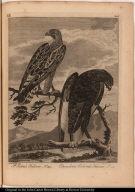 St. John's Falcon No. 93.; Chocolate Colored Falcon No. 94.
