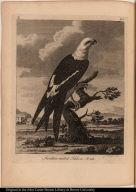 Swallow-tailed Falcon No. 108.