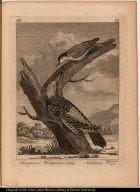 Ferruginous Woodpecker No. 159.; Nuthatch No. 170.