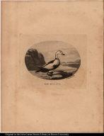 Pied Duck. No 488.