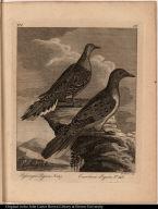 Passenger Pigeon, No. 187.; Carolina Pigeon, No. 186.
