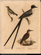 1. Fork-tailed Flycatcher. Muscicapa Savana. 2. Rocky Mountain Anteater. Myiothera Obsoleta. 3. Female Golden-winged Warbler. Sylvia Chrysoptera.