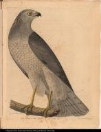 Blue Hawk or Hen Harrier. Falco Cyaneus.