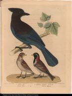 1. Steller's Jay. Garrulus Stelleri. 2. Lapland Longspur. 3. Female. Emberiza Lapponica.