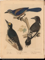 1. Florida Jay. Garrulus Floridanus. 2. Northern Three-toed Woodpecker. Picus Tridactylus. 3. Young Red-headed Woodpecker. Picus Erythrocephalus.