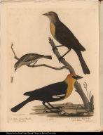 1. Yellow-headed Blackbird. Icterus Icterocephalus. 2. Female. 3. Female Cape May Warbler. Sylvia Maritima.