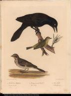 1. Female Crow Blackbird. Quiscalus Versicolor. 2. Orange-crowned Warbler. Sylvia Celata. 3. Lark Finch. Fringilla Grammaca.